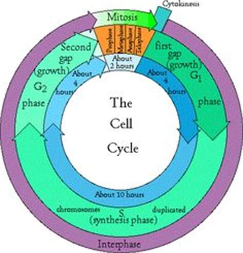 Cell cycle homework